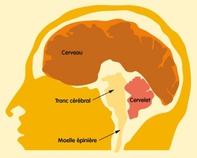 Cervelet et tronc cérébral